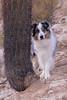Desert Patrol (Jasper's Human) Tags: aussie australianshepherd dog desert southmountainpark