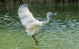 DSC2532  Little Egret..