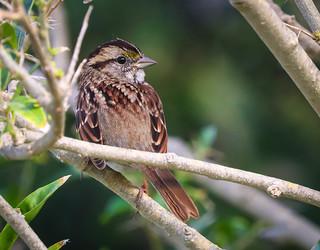 White-throated Sparrow rare bird for Los Angeles South Coast Botanic Garden Palos Verdes Pennisula 051