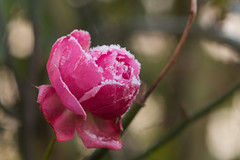 Winter Rose (Mike House Photography) Tags: winter snow frost cold water freezing frozen white plant plants rose pink flower petals flowering thorn