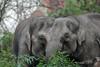 Asiatic elephants (K.Verhulst) Tags: olifanten olifant elephant elephants aziatischeolifanten asiaticelephants blijdorp diergaardeblijdorp rotterdam ngc npc
