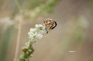 Mariposa diurna. Polyommatus icarus. Este ejemplar es hembra