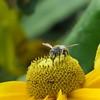 CANADA, Montreal Scenes 2016 (298) (Padski1945) Tags: montreal canada canada2016 flora flower flowers rudbeckia beeonrudbeckia bee insect montrealquebec