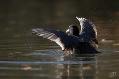 Foulque macroule (Tifaeris) Tags: aquitaine eurasiancoot foulquemacroule fulicaatra gironde gruiformes leteich rallidés réserveornithologiqueduteich bird oiseau