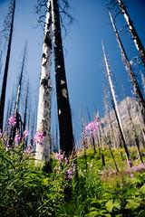 fireweed (almostsummersky) Tags: wood fireweed hike regrowth forestfire plants purple flower glaciernationalpark glacier dead summer snag macro tree travel trail sky green montana nationalpark