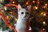 I hear Santa!! (lcams) Tags: kitten christmas ribbon calico happycaturday tree