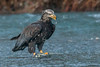 Messy Eater (Dex Horton Photography) Tags: eagle nooksackriver northfork whatcomcounty washingtonstate juvenile birds birdsofprey