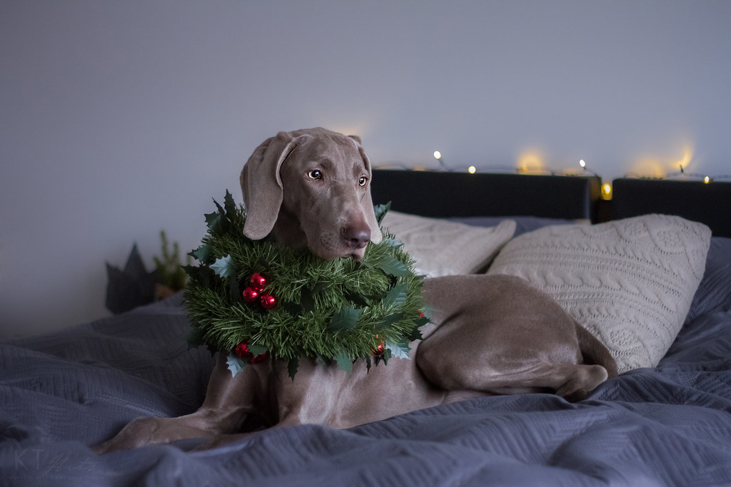 The World\'s most recently posted photos of christmas and weimaraner ...
