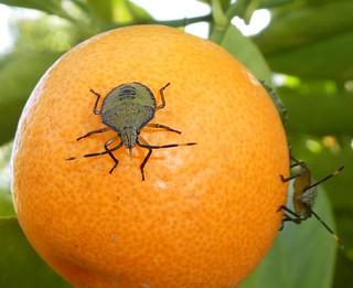Shield bugs on a cumquat