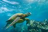 turtle9Nov19-17 (divindk) Tags: cheloniamydas hawaii hawaiianislands honu maui underwater diverdoug endangeredspecies greenseaturtle marine ocean reef sea seaturtle turtle underwaterphotography