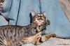 The pleasures of the net... (JOAO DE BARROS) Tags: joão barros cat feline net humor