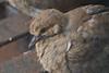 Mourning Dove Fledgling on Fire Escape (Algorithms Riven) Tags: bird chick fireescape macro mourningdove