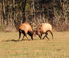 Bull Elk Fight - Boxley Valley, Northwest Arkansas (danjdavis) Tags: elk bullelk bullfight wildlife bpxleyvalley arkansas