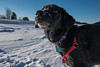 Cortana at Wisconsin Point (Tony Webster) Tags: cortana superior wisconsin wisconsinpoint dog snow winter southrange unitedstates us