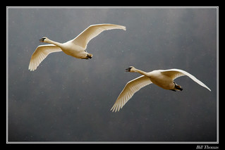 Trumpeter Swans flying in the snow-1