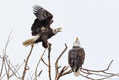 Eagle Talk (Mimi Ditchie) Tags: atascadero atascaderolake baldeagle eagle lake twoeagles eagles baldeagles baretree getty gettyimages mimiditchie mimiditchiephotography