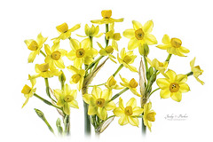 Spring Narcissus (Jacky Parker Flower Photography) Tags: narcissus daffodils yellow flowers highkey whitebackground springflowers springgarden springtime spring 2018 freshness fragility beautyinnature floralart flowerphotography