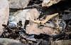 Amazon Horned Frog (tickspics ) Tags: amazonbasin amazonhornedfrog anura ceratophryidae ceratophryscornuta frogsandtoads lowlandrainforest manú manúbiospherereserve manúnationalpark peru southamerica surinamhornedfrog tropicalrainforest