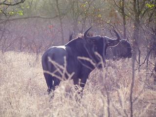 Zimbabwe Cape Buffalo Hunt 25