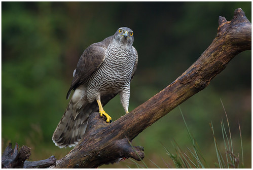 Northern Goshawk (female) - Havik (vrouw) (Accipiter gentillis) ...