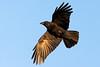 Crow (Unintended_Keith) Tags: crow flying birdinflight goldenhour corvid nature wildlife bird canon1dx sigma150600mms