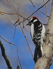 Downy Woodpecker (Ceredig Roberts) Tags: downywoodpecker picoidespubescens