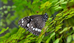 DSC_0004 (RUMTIME) Tags: butterfly coochiemudlo coochie queensland coth5