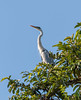 IMG_7920 (jaglazier) Tags: 121717 2017 animals birds copyright2017jamesaglazier december deciduoustrees ecuador napowildlifepreserve naturepreserves orellana trees herons parks orellanaprovince