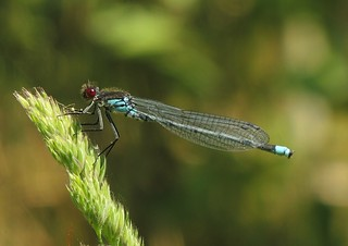 Red-eyed Damselfly (Erythromma najas) Male