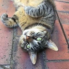 3/365 Relaxing (retrokatz) Tags: tabby zelda relaxing cat 365the2018edition 3652018 day3365 03jan18