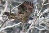 Go time (jrlarson67) Tags: great grey gray owl raptor bird hunting filght nature animal wildlife nikon sax zim bog mn minnesota strix nebulosa chouette lapone cendrée predator bif birdofprey