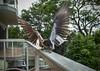 snatching (gnarlydog) Tags: australia bird manualfocus samyang12mmf2 motionblur slowshutterspeed lenstest