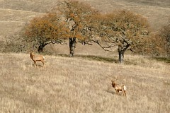 Cervus canadensis, ELK. (openspacer) Tags: cervidae elk mammal pachecostatepark santaclaracounty