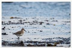 Bécasseau variable (C. OTTIE et J-Y KERMORVANT) Tags: nature animaux oiseaux limicoles bécasseau bécasseauvariable finistère finistèrenord bretagne france