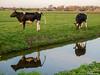 Cows (✦ Erdinc Ulas Photography ✦) Tags: cows cow koe nederland weiland netherlands dutch holland gras grass green groen sloot panasonic meadow