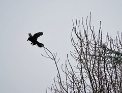 Winter weather (Dun.can) Tags: winter weather trees birds snow carrioncrow crow