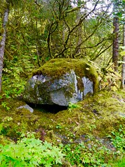 Green Lush Mosh on a Rock in a Temperate Forest in Juneau, Alaska (Seymour Lu) Tags: rock stone boulder moss mossy green lime forest cold temperate deciduous leaves northern plants habitat hiking travel juneau alaska trail lumix vario dmcg5