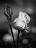 Rose (holgerreinert) Tags: 2017 höhenpark killesberg oktober lowkey bnw blackandwhite rose bloom flower