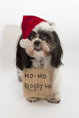 HO HO HO Merry Christmas (abnormally average) Tags: roggy christmas festive shihtzu dog pet animal beautiful santa humour fun goodgirl poser abnormallyaverage