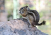Golden-mantled Ground Squirrel (Spermophilus lateralis); Santa Fe National Forest, NM, Thompson Ridge [Lou Feltz] (deserttoad) Tags: nature newmexico animal rodent mammal fauna squirrel groundsquirrel behavior young nationalforest mountain