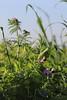 CKuchem-2096 (christine_kuchem) Tags: acker ackerrand agrarlandschaft biene bienenfreund bienenweide blühstreifen blüte boden bodenverbesserung dünger düngung eiweis eiweiserbsen erbsen feld felder grün gründünger insekten klee kulturlandschaft landwirtschaft lupinen mischung nahrung nektar phacelia pisumspec ramtillkraut sommer verbesserung winter winterroggen bio biologisch blau lila naturnah natürlich