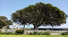 Pt. Fermin (San Pedro, California) Moreton Bay Fig tree (49er Badger) Tags: moreton bay fig tree fermin pt