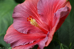 "Hibiscus Rosa-Sinensis ""Nightfire"" (Barbara.Elizabeth) Tags: pinkpurple blossom botanicalgardens hibiscus canon"
