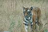 Solo - Bengal Tiger (tim ellis) Tags: holiday bandhavgarh india madhyapradesh animal cat tiger carnivore bengaltiger royalbengaltiger pantheratigris pantheratigristigris