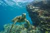 turtle6Nov18-17 (divindk) Tags: cheloniamydas hawaii hawaiianislands maui underwater diverdoug endangeredspecies greenseaturtle marine ocean reef sea seaturtle turtle underwaterphotography
