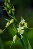Gavilea araucana (Phil.) M.N.Correa, Pico de loro (macsbruj) Tags: chileaustral flor monocotiledóneas orquidáceas orquídea plantae torresdepaine chile regióndemagallanesydelaantárticachilena cl nationalpark parquenacional