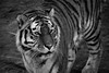 Pacing (virtualwayfarer) Tags: copenhagen kbh kobenhavn zoo zoologicalpark touristattraction animals visitcopenhagen visitdenmark danishattractions tiger bigcat asiantiger bigcats stripes stripedcat conservation endangered alexberger nordic scandinavia sonyalpha a7rii lenstest winter lateautumn latefall