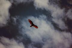 Soaring over Hecla (joshuadavidreid) Tags: hecla manitoba soaring bird