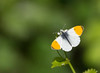 19 orange tip - Best2017 (Neil Phillips) Tags: anthocharis anthochariscardamines essex insecta orange orangetip orangetipbutterfly wattylercountrypark arthropod arthropoda basking black bug butterfly cardamines compound consume consuming drinking eat eating eyes feed feeding flower fullbody hexapod insect invertebrate leaf leaves legs look looking mouth ommatidia onflower perched petal petals plant preying spots tip toleft tongue vegetation white wholeanimal wing