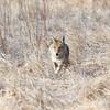 I See You (dcstep) Tags: dsc9961dxo portrait coyote wildcanine canine westerncoyote cherrycreekstatepark colorado usa aurora sonya7riii canonef500mmf4lisii ef14xtciii metaboneseftoetadaptermkv allrightsreserved copyright2018davidcstephens dxophotolab nature urban urbannature wildlife mammal